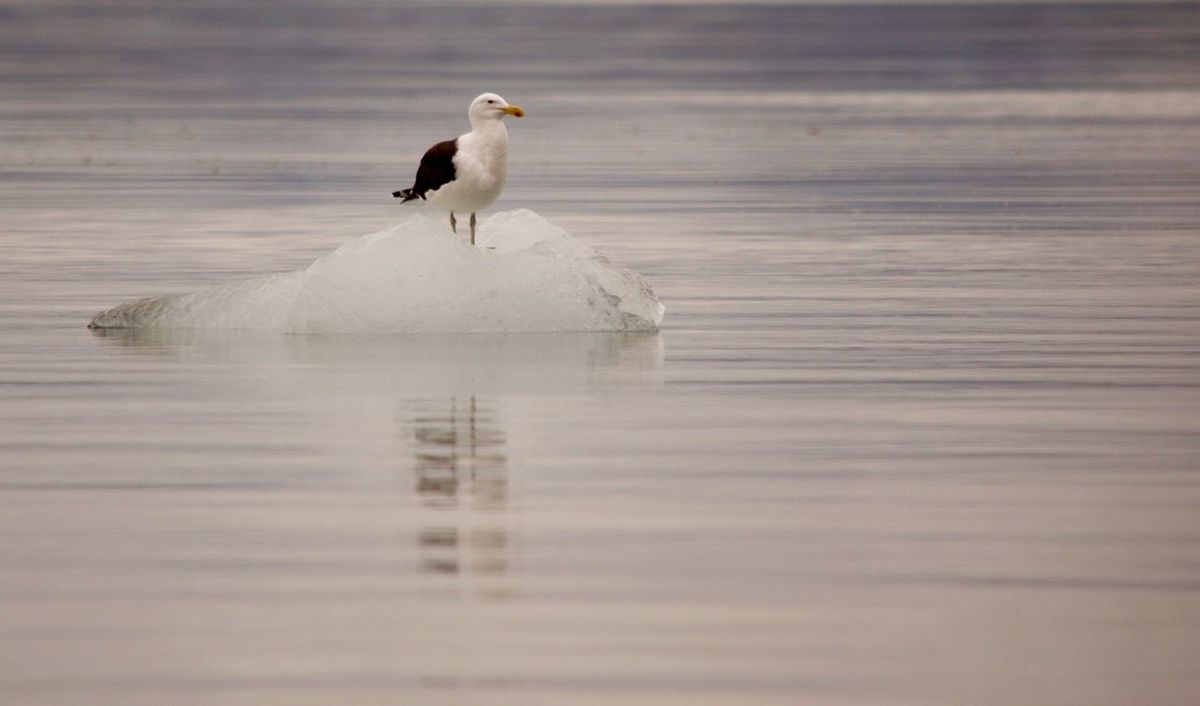 Alone Animal Themes Animal Wildlife Animals In The Wild Beauty In Nature Bird Day Ice Bergs Nature No People One Animal Outdoors Perching Reflection Sea Gull Water Winter