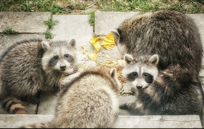 Lunchtime! Raccoons Raccoon Baby's Raccooneyes Raccoon Lover Raccoon Pets Animal Themes Animal Portrait Animals Of Eyeem My Animals From My Point Of View In Middlefield Ohio