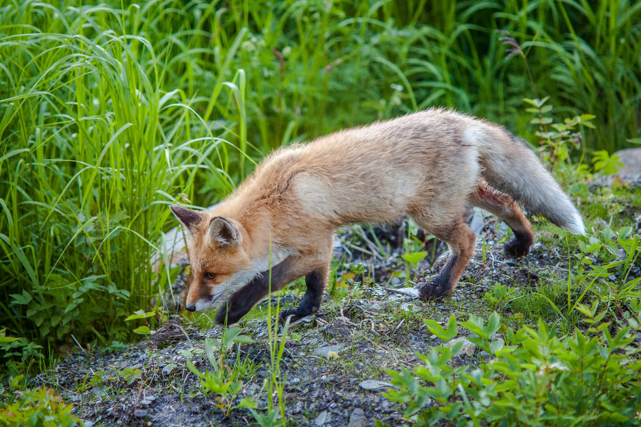 Norway Northern Norway Fox Animals Critters Capture The Moment