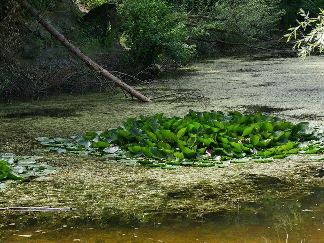 Beauty In Nature Green Green Color Growth Idyllic Nature Non Urban Scene Outdoors Plant Scenics Seerose Seerosenblätter Seerosenteich Tranquil Scene Tree Water Water Lily