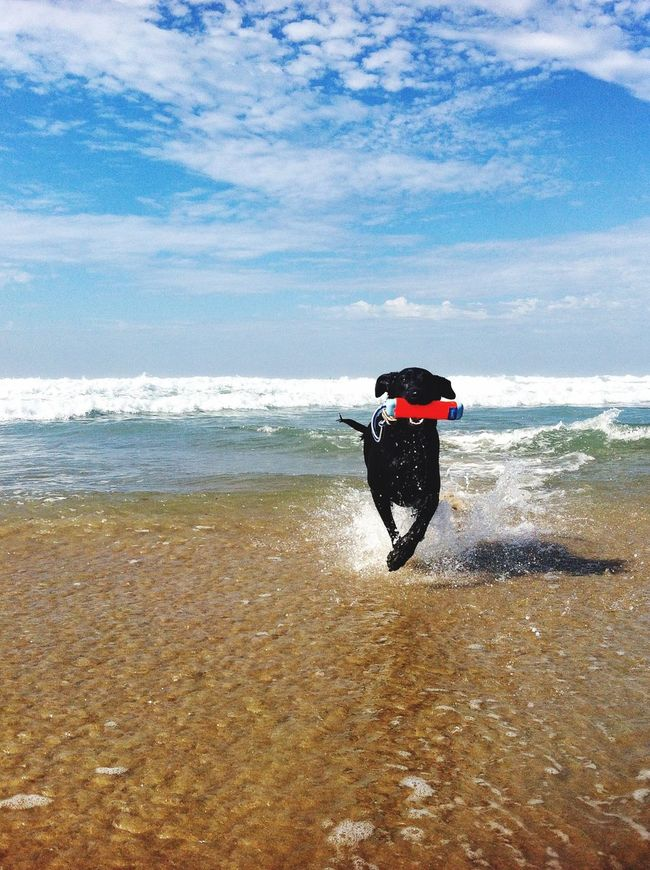 Nature On Your Doorstep Dog Beach is awesome ... Yoko's most favorite place. Newport Beach California Holiday POV The Moment - 2015 EyeEm Awards Dogs Dogs Of EyeEm Dog On Beach Dog
