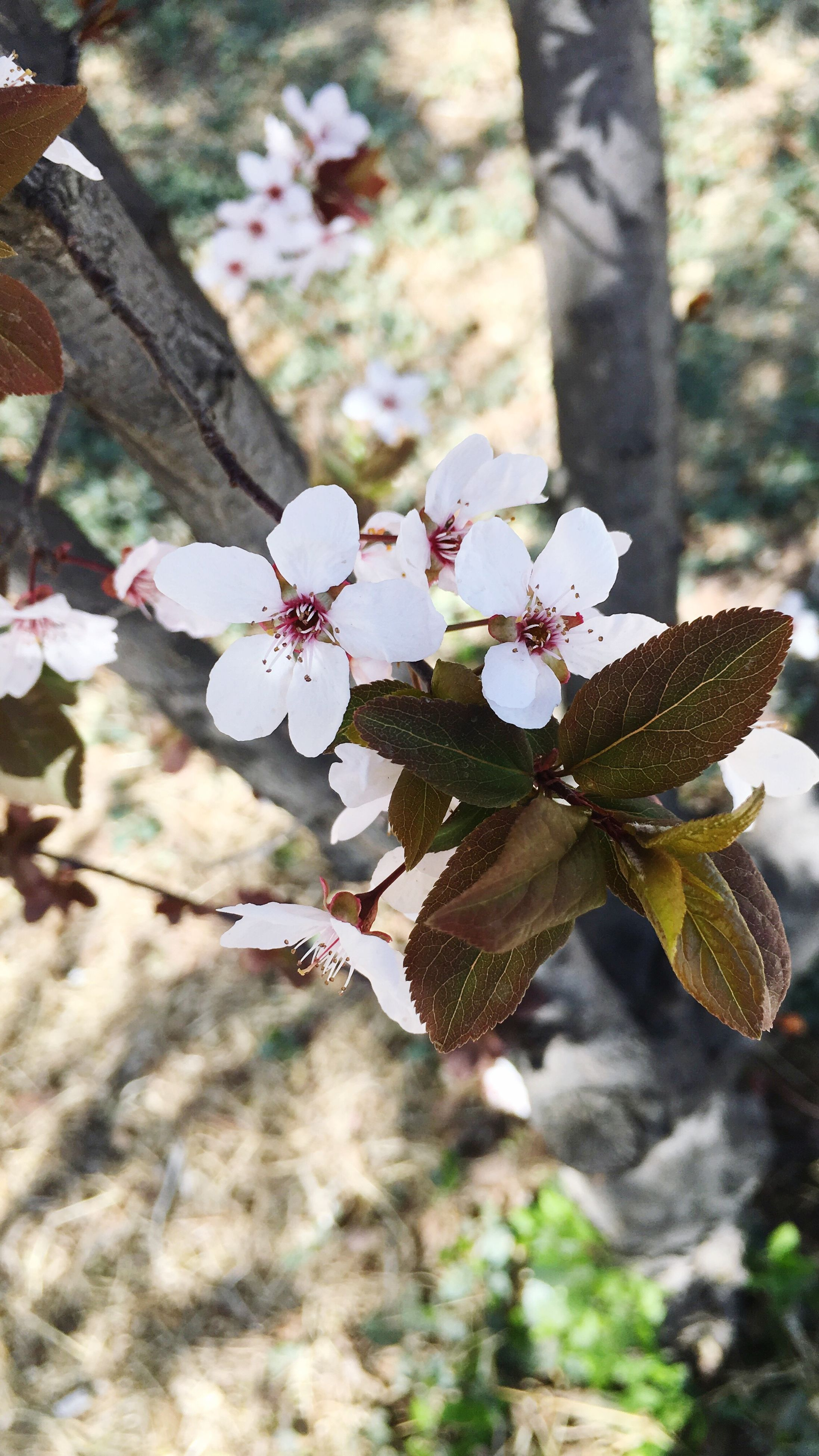 flower, freshness, growth, fragility, petal, branch, beauty in nature, nature, tree, focus on foreground, blossom, close-up, in bloom, blooming, cherry blossom, flower head, white color, springtime, twig, botany