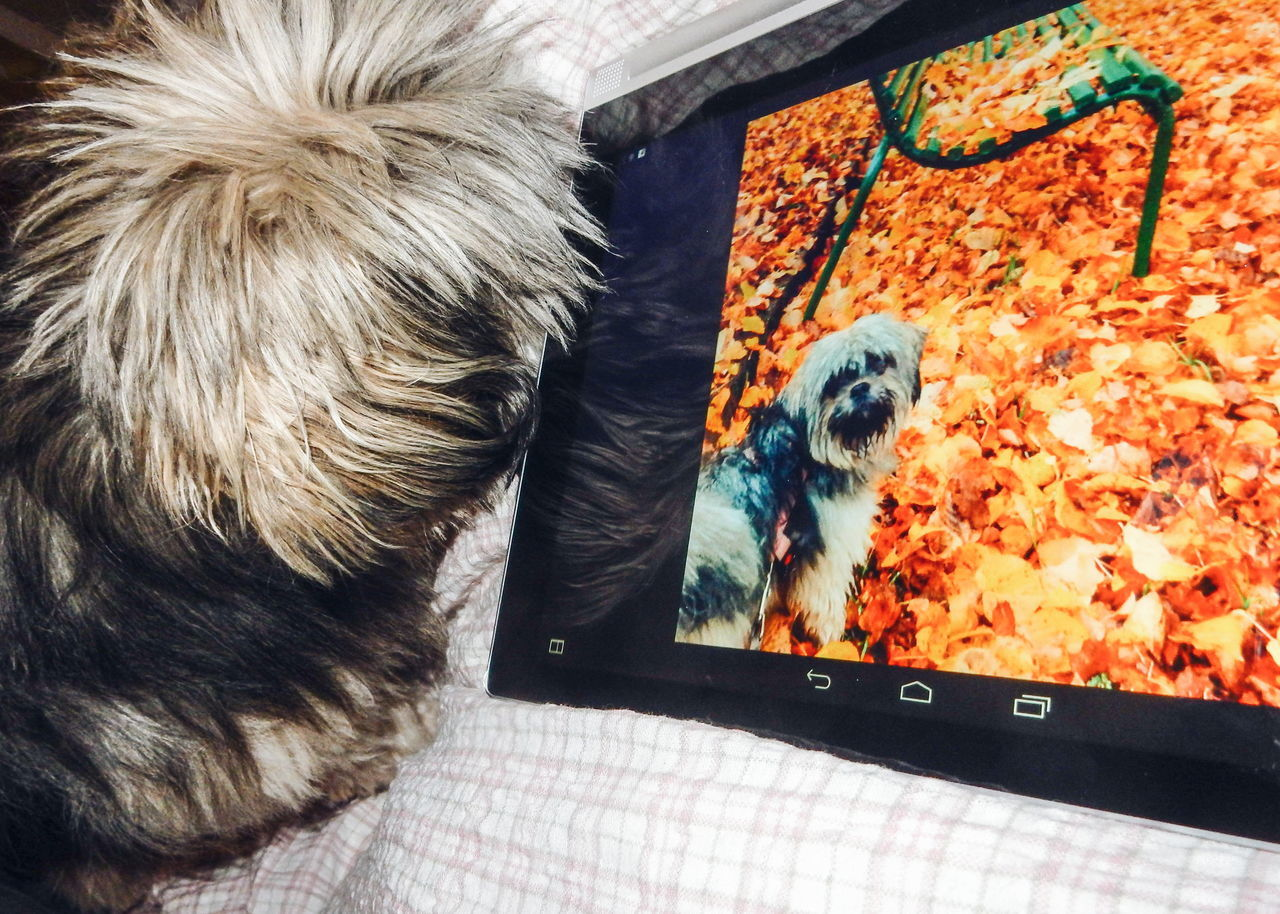 Dog selfie Animal Hair Animal Head  Animal Themes Bed Close-up Curiosity Dog Dog Selfie Dog Watching Dog's Selfie Fall Fall Leaves Home Indoors  Laying In Bed Looking Looking At Camera Mammal One Animal Pets Portrait Relaxation Relaxing Selfie Dog  Tablet
