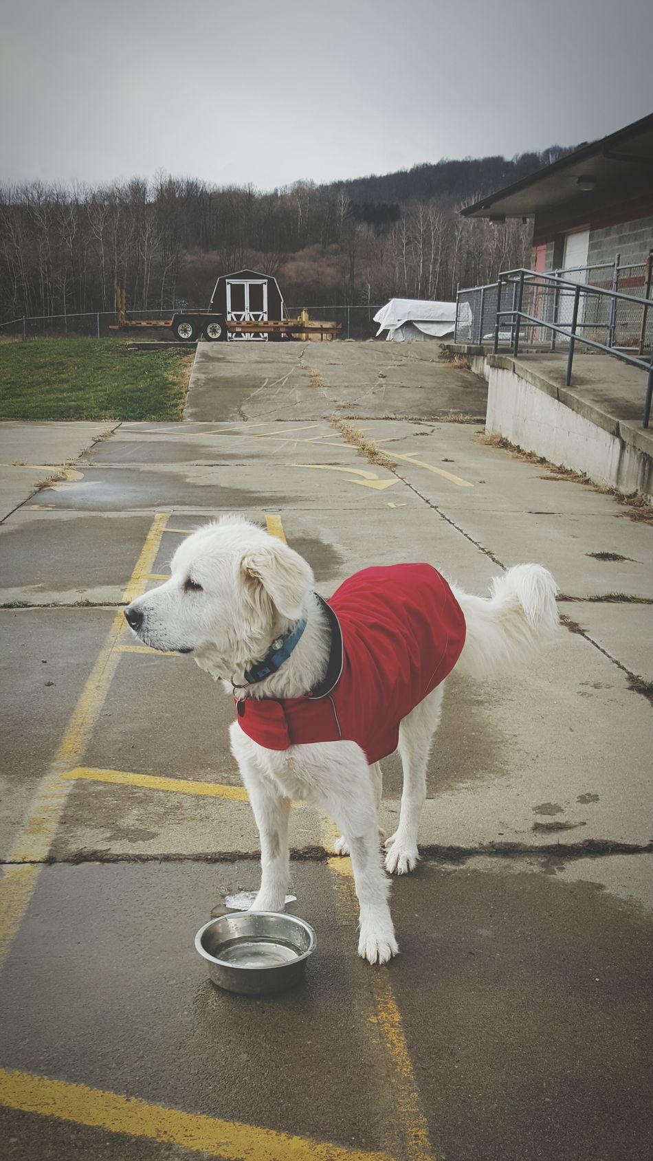 The Week On EyeEm Greatpyrenees Dogs Dogpark Bigfluffydog
