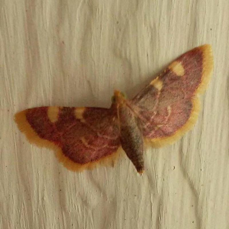 A lot of moths this year! Mothsofinstagram Moth Thingsthatfly Ilovebugs