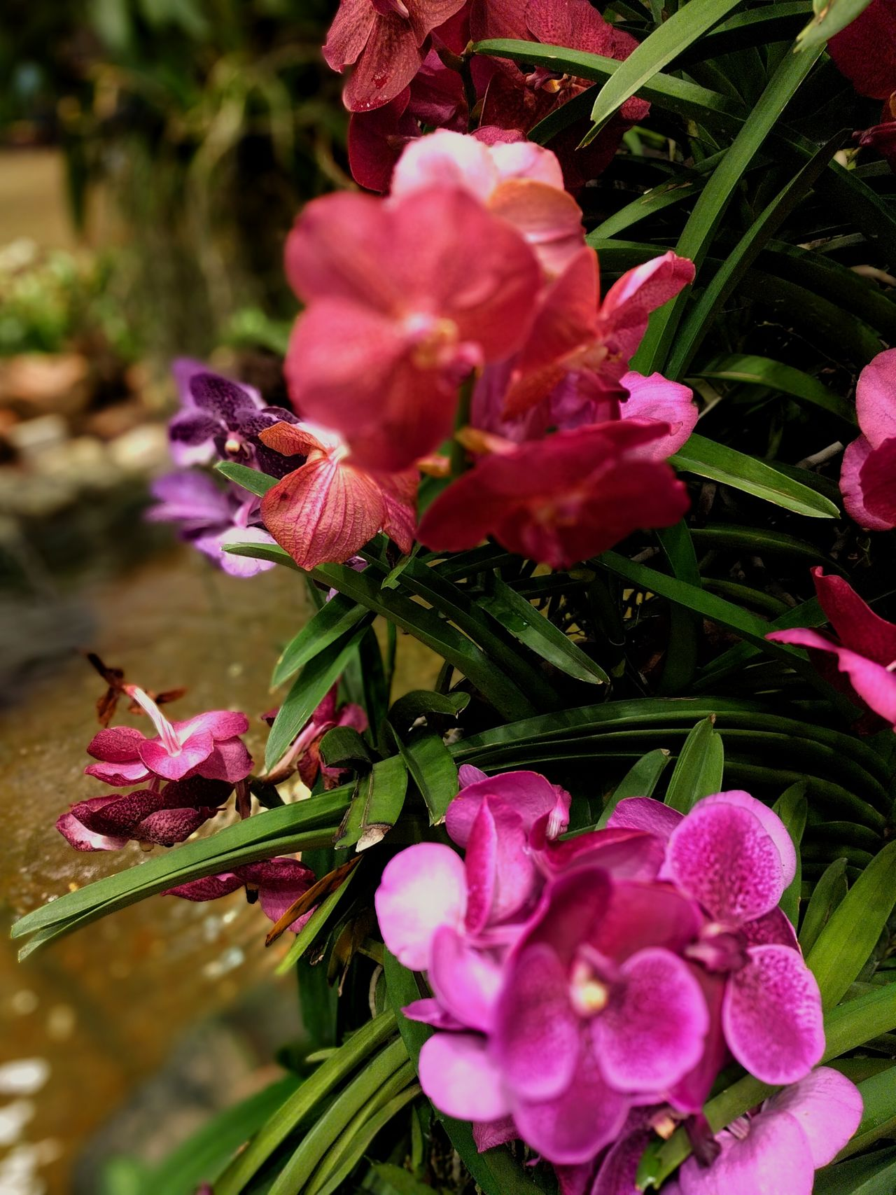 Flower Beauty In Nature Orchids Collection No People Plant Blossom Flower Head Close-up Nature Pink Color Freshness Growth Fragility