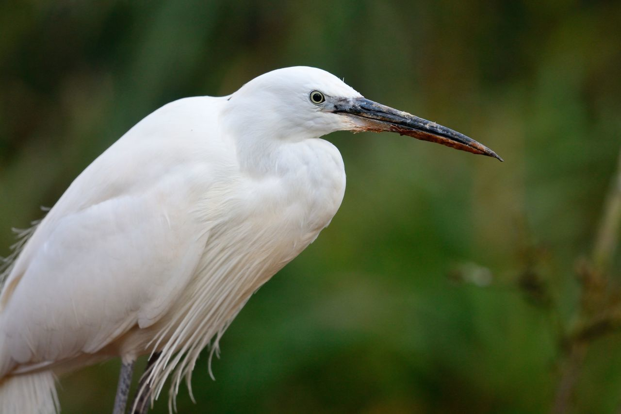 Animal Themes Animal Wildlife Animals In The Wild Beak Beauty In Nature Bird Check This Out Close-up Day Egret Eye4photography  EyeEm Best Shots EyeEm Gallery EyeEm Nature Lover Focus On Foreground Little Egret Nature Nature Photography Nature_collection Naturelovers No People One Animal Perching Portrait Taking Photos