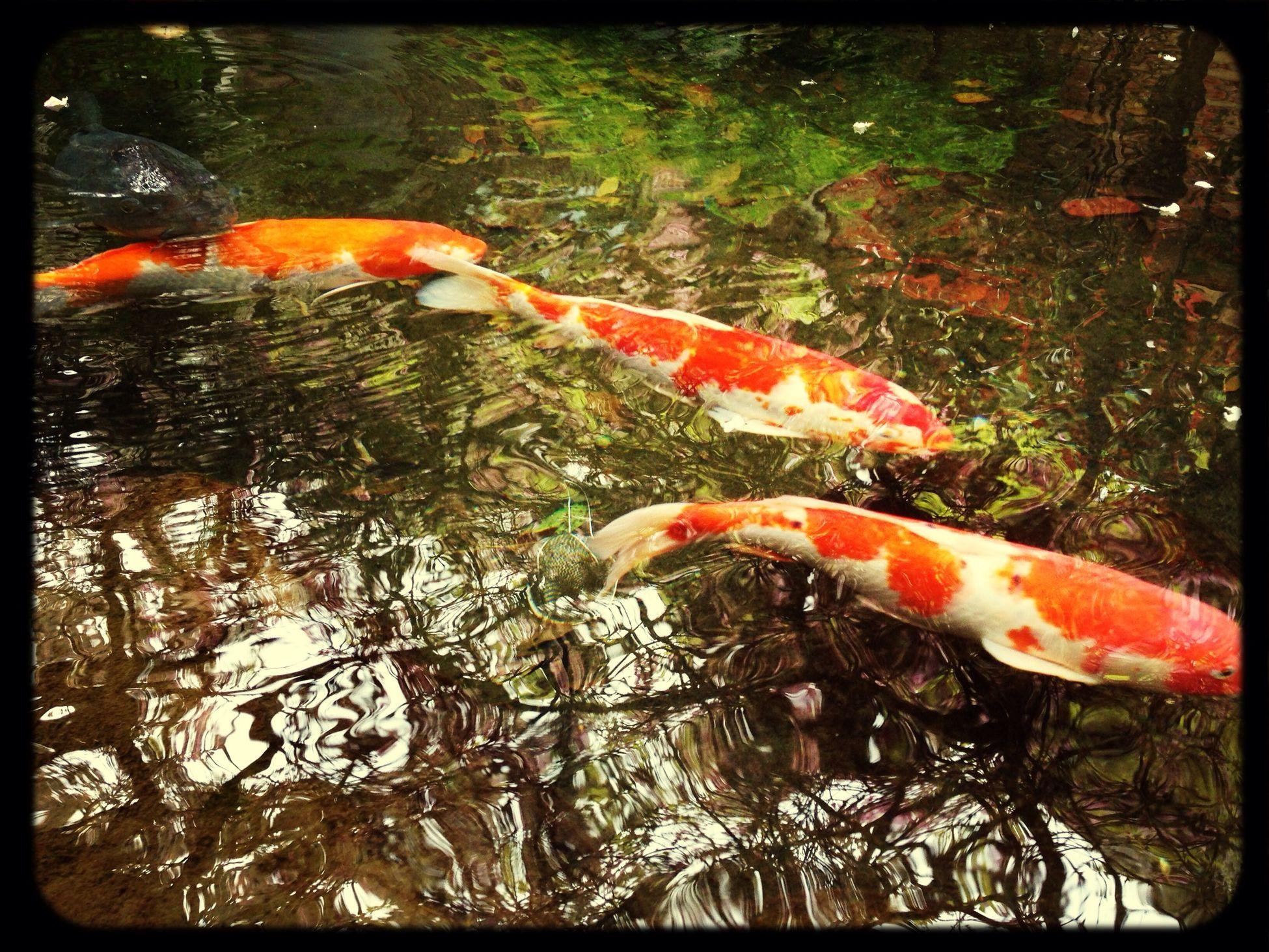 Carp 鯉-carp-