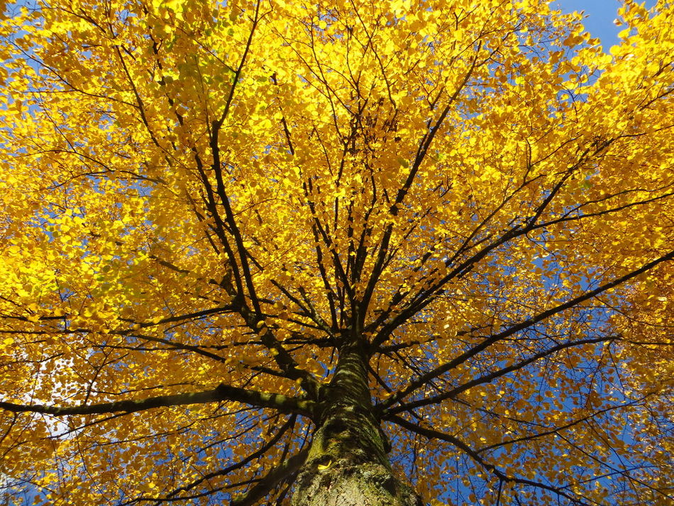 The Three Linden Tree Sisters: towering the blue sky Autumn Autumn Collection Autumn Colors Autumn Leaves Autumn🍁🍁🍁 Beauty In Nature Branch Change Close-up Day Fall Beauty Fall Colors Fall Collection Fragility Full Frame Growth Linden Linden Tree Low Angle View Nature Outdoors Sky Tranquility Tree Yellow