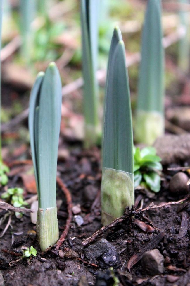 New Growth Spring Is Coming  New Shoots🌱 Daffodils Bulbs Close-up Green Leaf Nature Beautiful Nature No People Natural Beauty Flowers, Nature And Beauty Spring Flowers