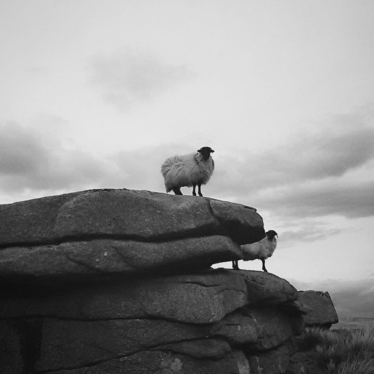 Sheep on the rock Sheep Rocks Dartmoor National Park Devon Nature Photography Nature_collection Annimals British Landscape