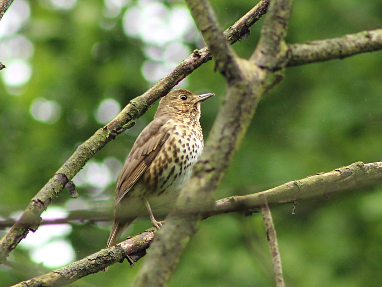 Thrush Springwatch Naturelovers Nature_collection Birds Wildlife Wildlife Photography Birds Of EyeEm  Bird Photography