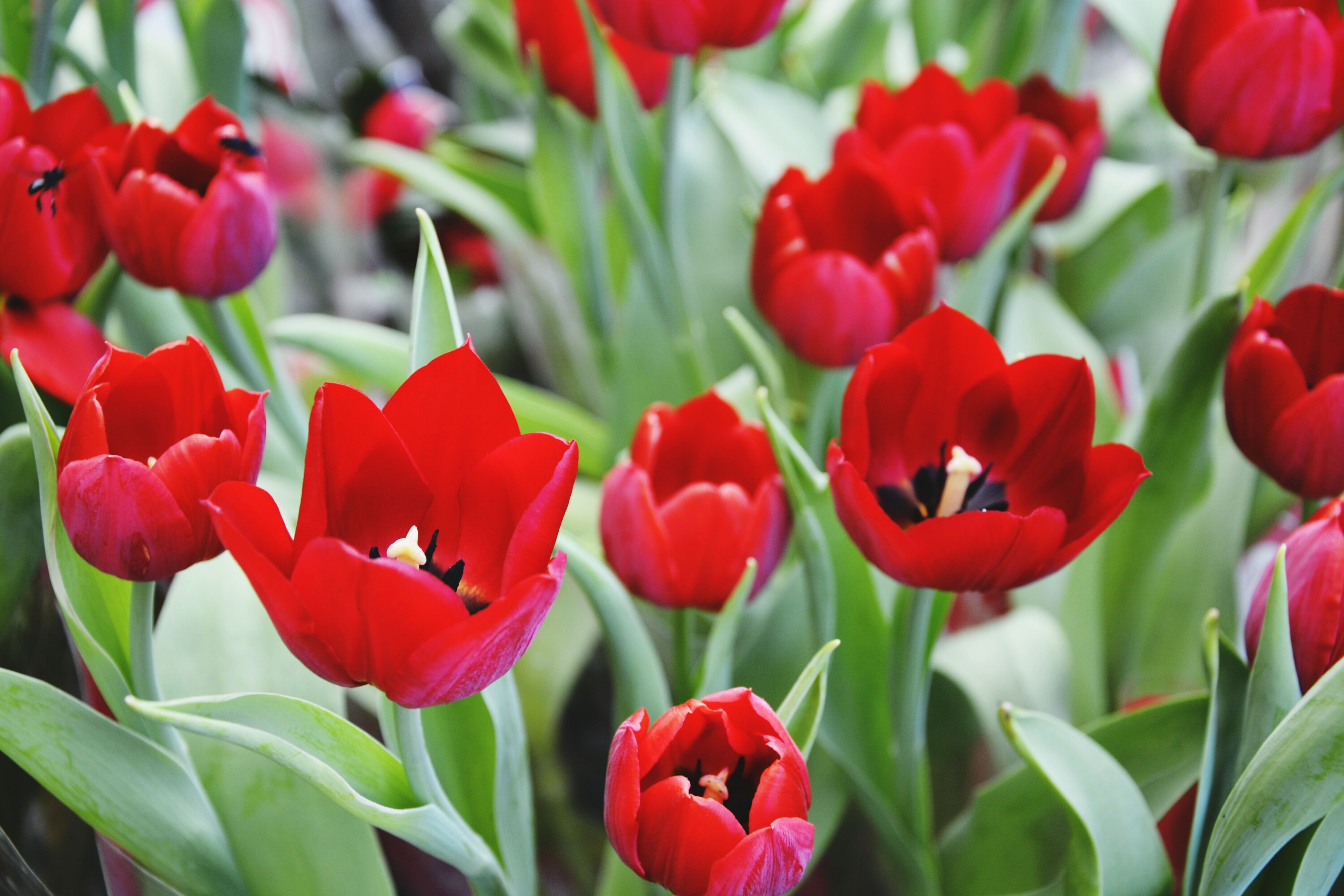 red, flower, freshness, growth, petal, tulip, fragility, beauty in nature, flower head, plant, nature, leaf, blooming, close-up, stem, abundance, day, no people, focus on foreground, green color, outdoors, in bloom, bud, blossom, botany, selective focus, growing, backgrounds, green