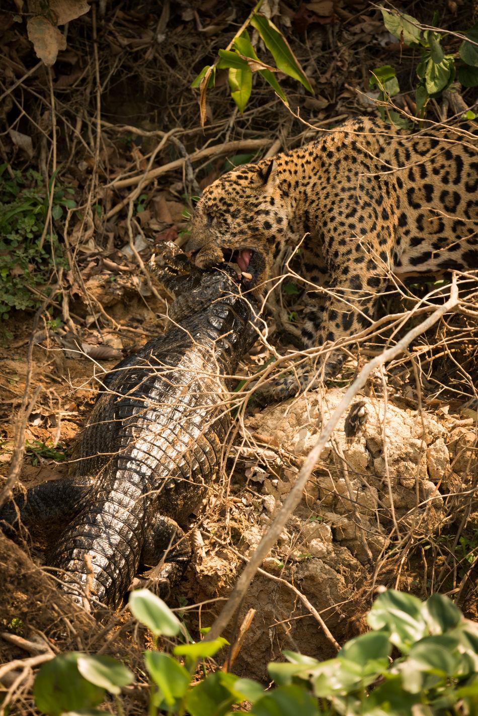 Beautiful stock photos of jaguar,  Animal Behavior,  Animal Body Part,  Animal Head,  Animal Hunting
