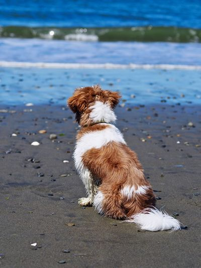 Animal Themes Beach Beauty In Nature Day Dog Domestic Animals Mammal Nature No People One Animal Outdoors Pets Sand Sea Shih Tzu Sitting Water