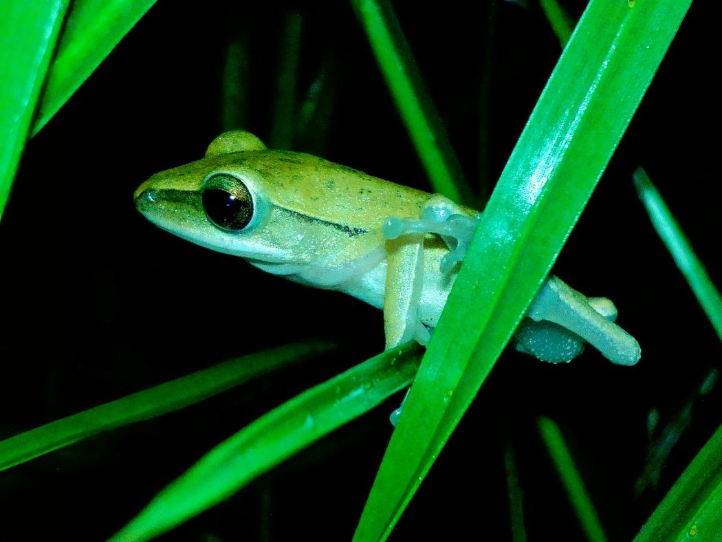 Animals In The Wild Animal Photography Close-up Animals Nature In The Night From The Point Of My View Indonesian Street (Mobile) Photographie Animal Themes Eyem Nature Lovers  Frog Animal Nature Photography Natures Diversities Showcase July