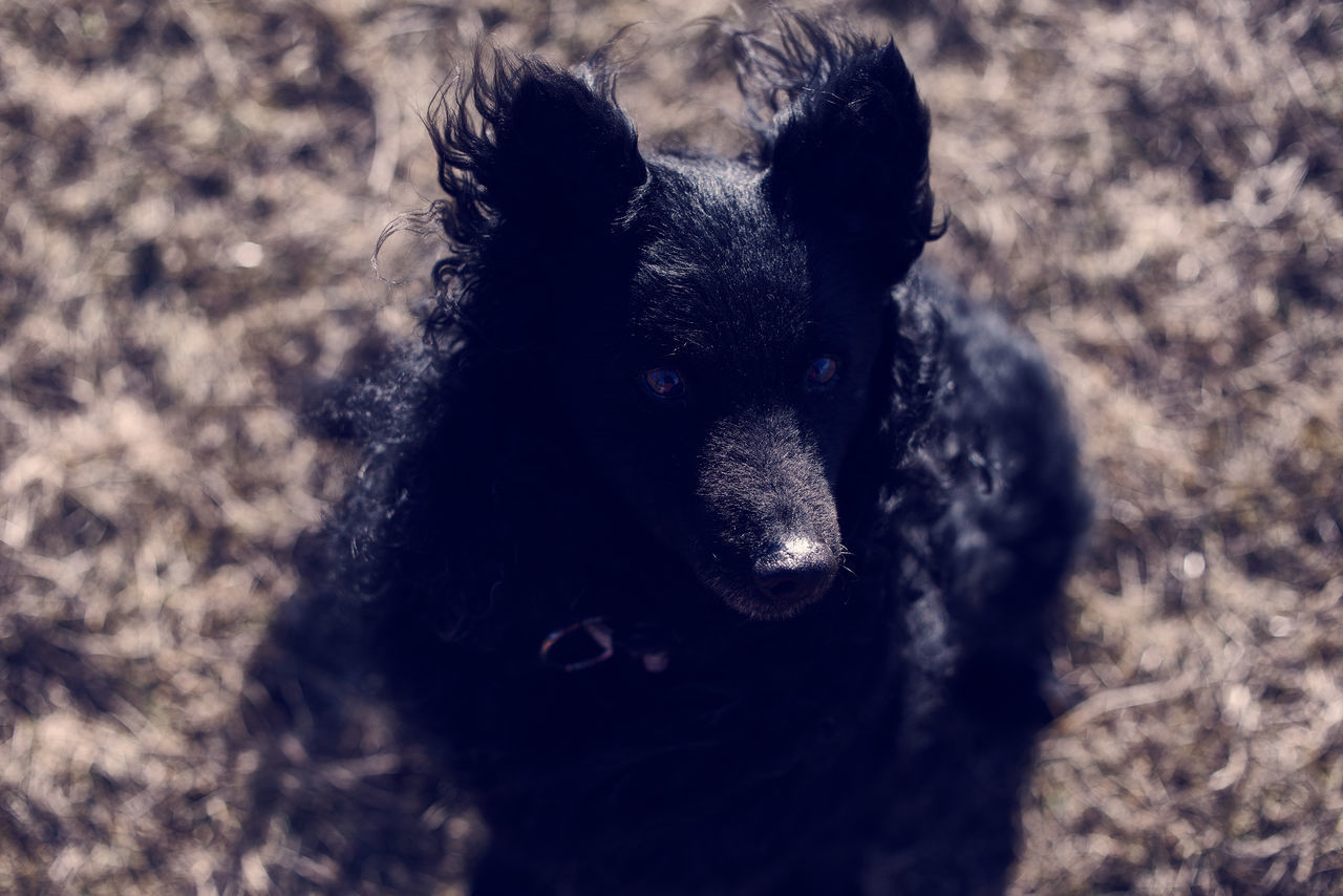 dog, domestic animals, pets, one animal, animal themes, mammal, looking at camera, portrait, no people, black color, day, outdoors, puppy, nature, close-up