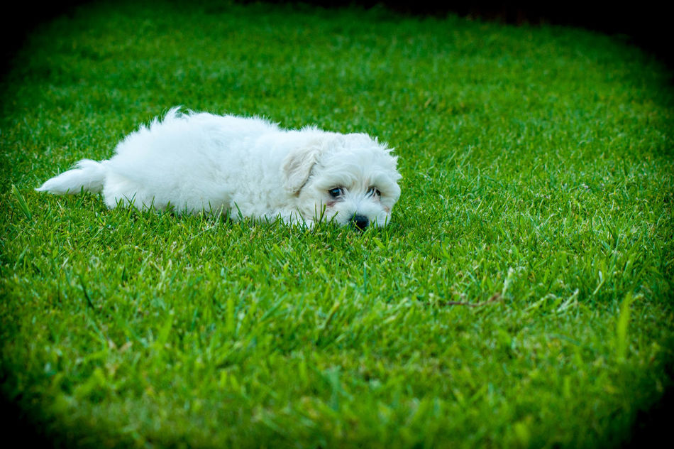 Animal Themes Bichonfrise Close-up Day Dog Domestic Animals Field Grass Green Color Mammal No People One Animal Outdoors Pets Poodle Puppy West Highland White Terrier White Color