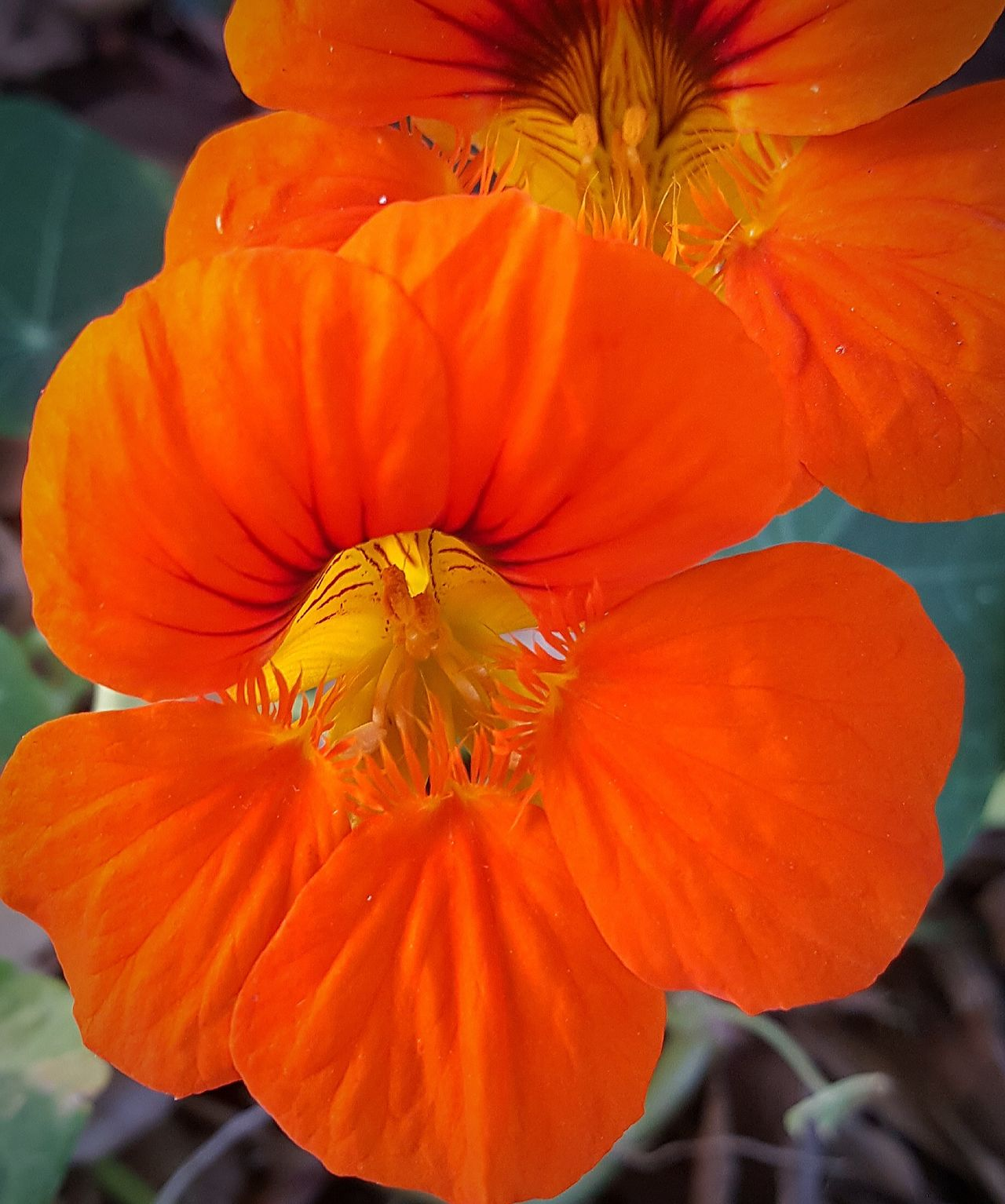 Flower Orange Color Flower Head Petal Plant Nature Poppy Beauty In Nature No People Freshness Growth Day Close-up Outdoors Fragility Day Lily They Came Back Nasturtium Pure Color EyeEm Gallery Blooming Just Pretty Orange Flowers