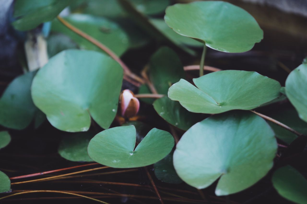 leaf, green color, growth, close-up, day, plant, food and drink, freshness, no people, food, outdoors, nature, beauty in nature