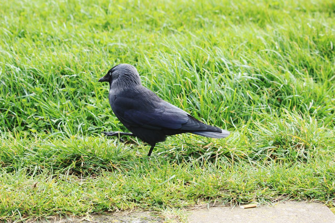 grass, bird, one animal, animal themes, animals in the wild, nature, animal wildlife, day, field, growth, green color, no people, outdoors, crow, perching