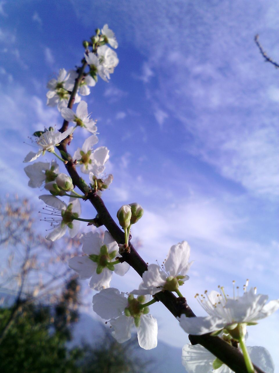 flower, fragility, blossom, beauty in nature, nature, growth, freshness, springtime, apple blossom, apple tree, tree, petal, white color, blooming, botany, no people, branch, orchard, spring, stamen, flower head, day, outdoors, close-up, sky