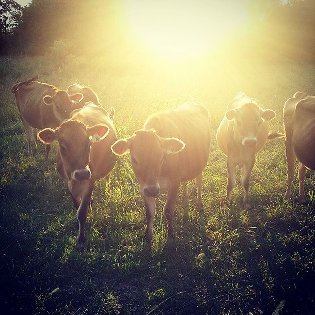 Jerseeyyyysss! Lovemycows Cowcrazy Cowwhisperer Cantgetenough