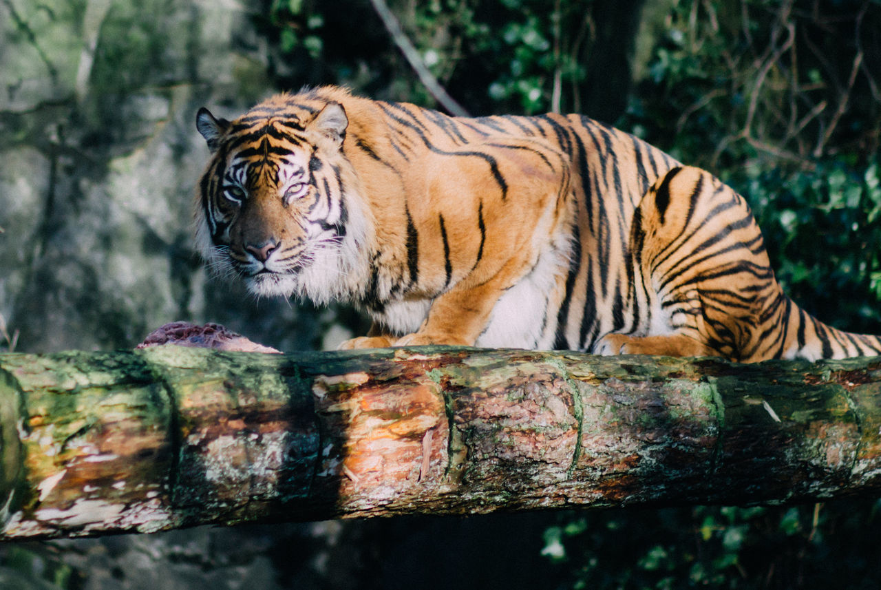 tiger, animals in the wild, one animal, animal wildlife, day, animal themes, nature, outdoors, white tiger, no people, tree, mammal