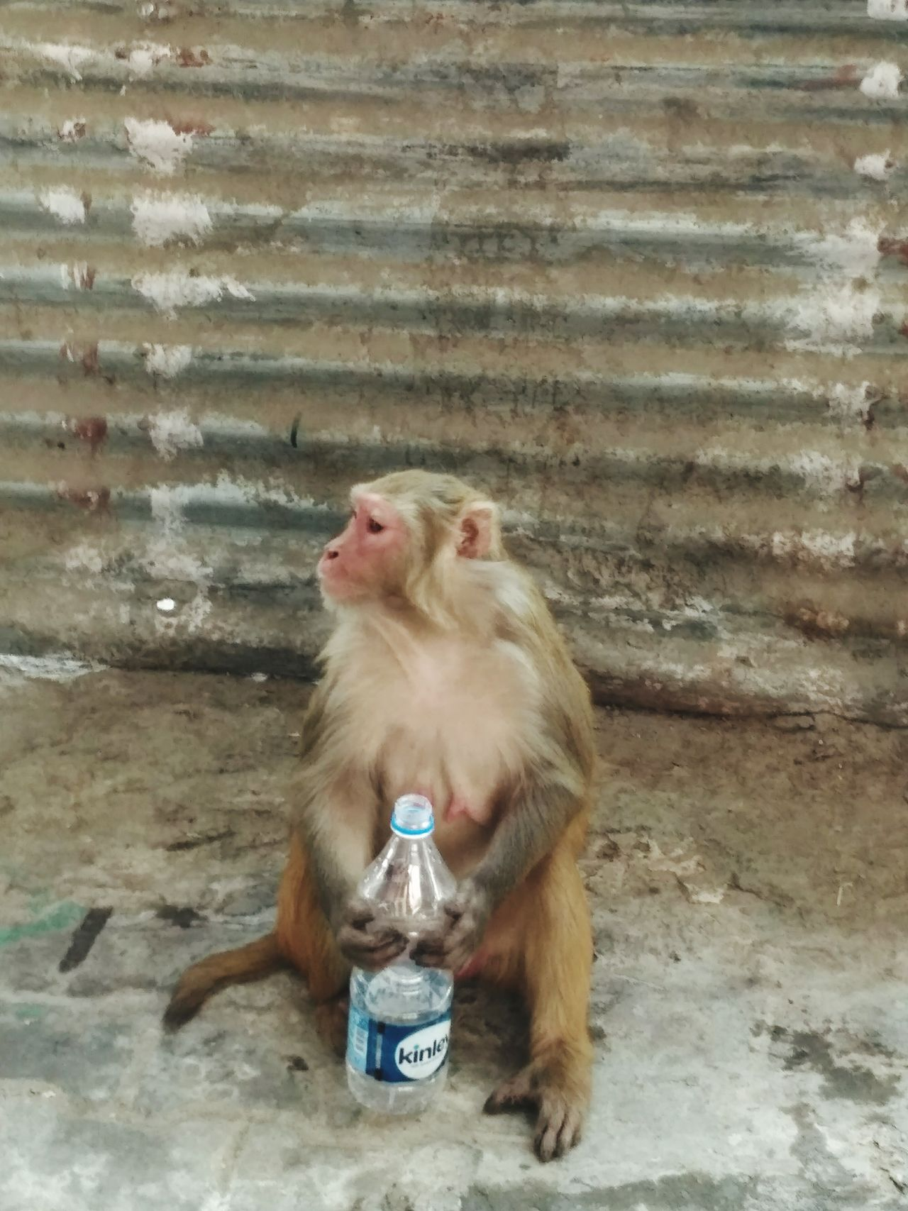 Adapted To The City One Animal Monkey Sitting Drinking Man Made Object Water Bottle