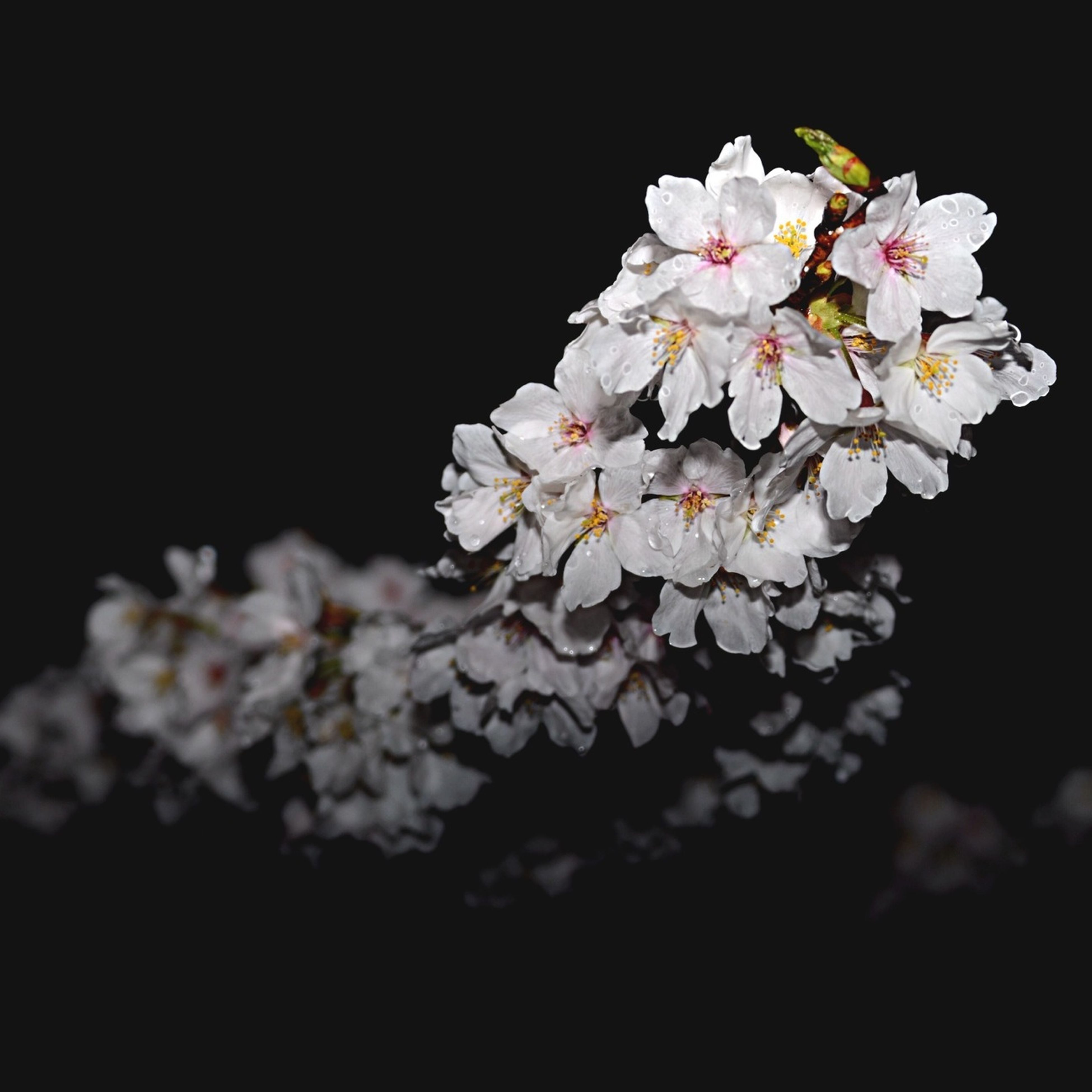 flower, freshness, fragility, petal, white color, flower head, beauty in nature, blossom, growth, cherry blossom, blooming, nature, close-up, in bloom, pollen, focus on foreground, stamen, springtime, night, white