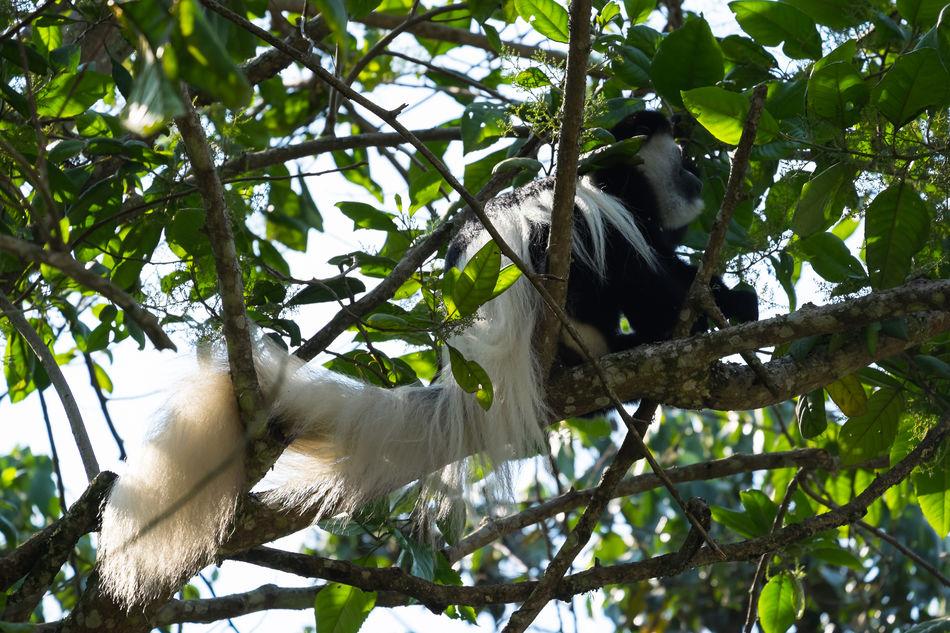 Mount Kilimanjaro Animal Wildlife Animals In The Wild Tanzania Kilimanjaro Tansania FUJIFILM X-T1 EyeEmNewHere Affen Affe Stummelaffe Monkeys Monkey Black And White Colobus
