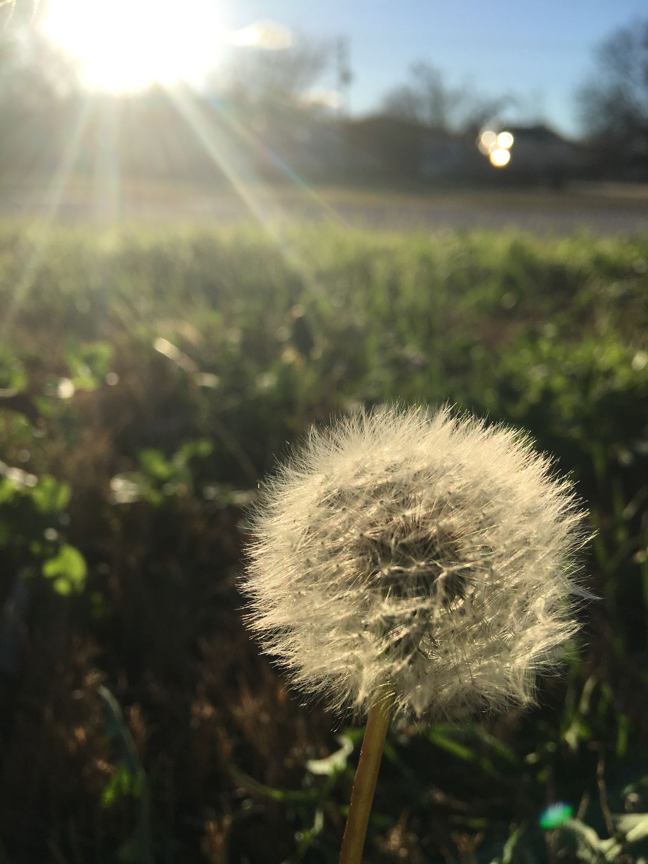 Raw Dandelion Wishes Wish IPhoneography IPhone Flower Lens Flare Sunlight Sunbeam Sun Sky Softness Flowers Nature Plant Growth Beauty In Nature No People Fragility Outdoors Grass Freshness Close-up Flower Head Day Dandelion Seed