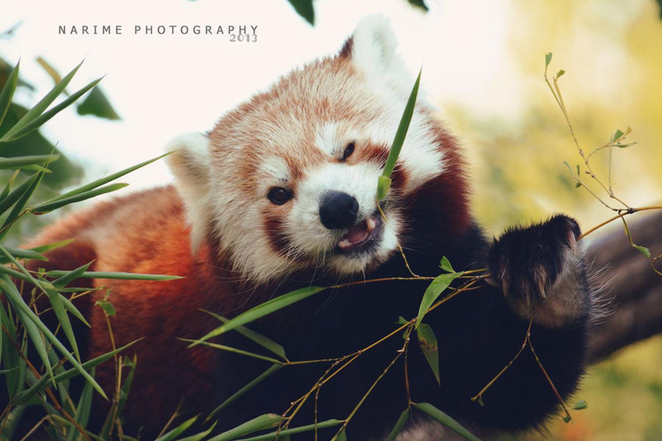 Panda Animal Cute Narime