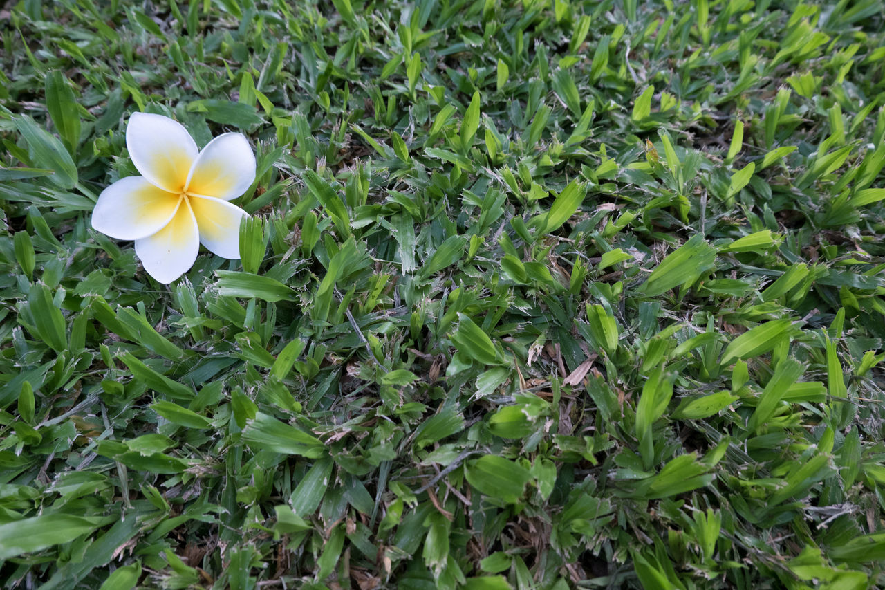 Beauty In Nature Blooming Blossom Botany Close-up Day Field Flower Flower Head Fragility Freshness Grass Green Green Color Growing Growth In Bloom Leaf Nature No People Outdoors Petal Plant Stem White Color