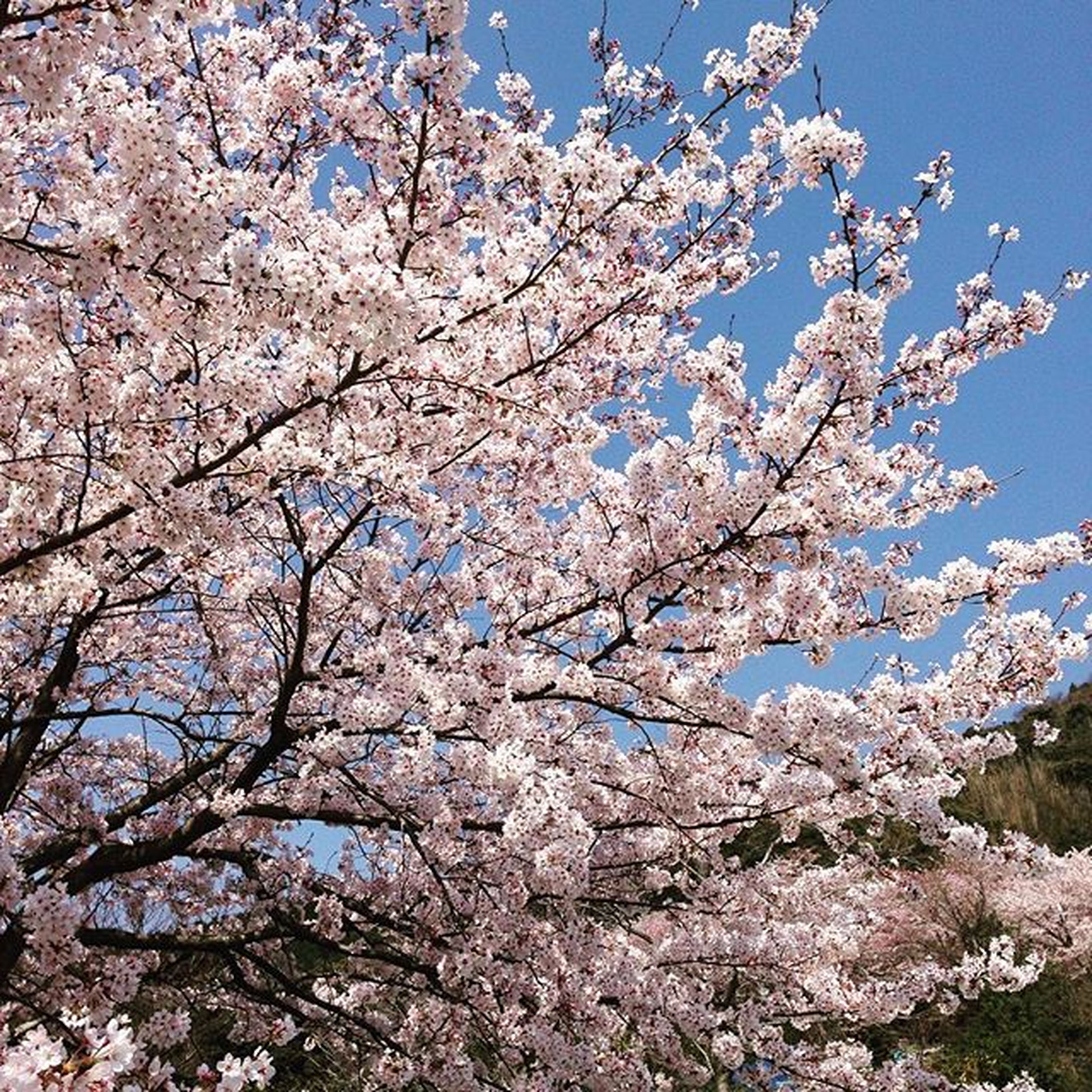 flower, tree, branch, cherry blossom, freshness, cherry tree, blossom, low angle view, growth, fragility, beauty in nature, nature, fruit tree, springtime, clear sky, in bloom, orchard, blooming, white color, apple tree