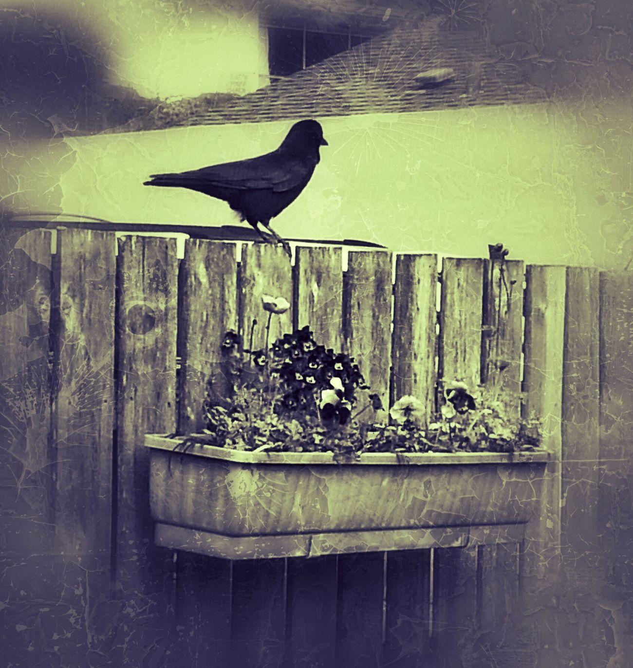 Blackandwhite Urban Birds Vashon Island Burton Coffee Stand