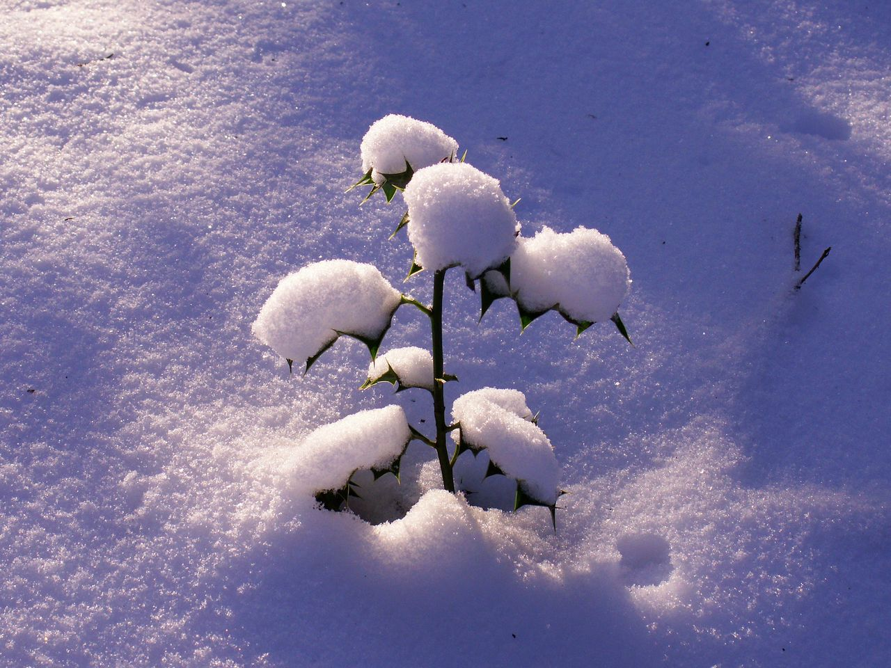 nature, white color, beauty in nature, day, winter, snow, cold temperature, no people, outdoors, tranquility, flower, growth, fragility, close-up