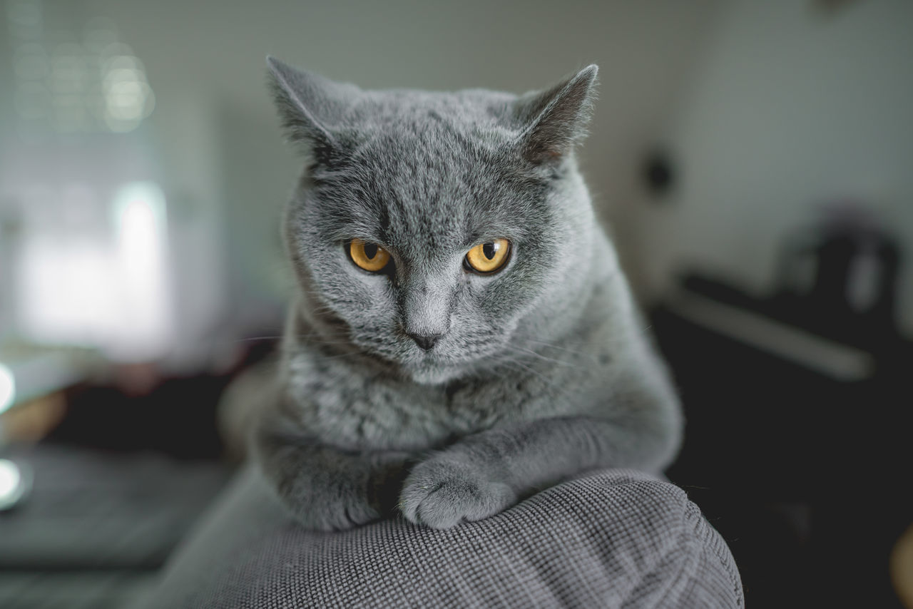 Animal Themes British Shorthair Close-up Day Domestic Animals Domestic Cat Feline Indoors  Mammal No People One Animal Pets Selective Focus Yellow Eyes