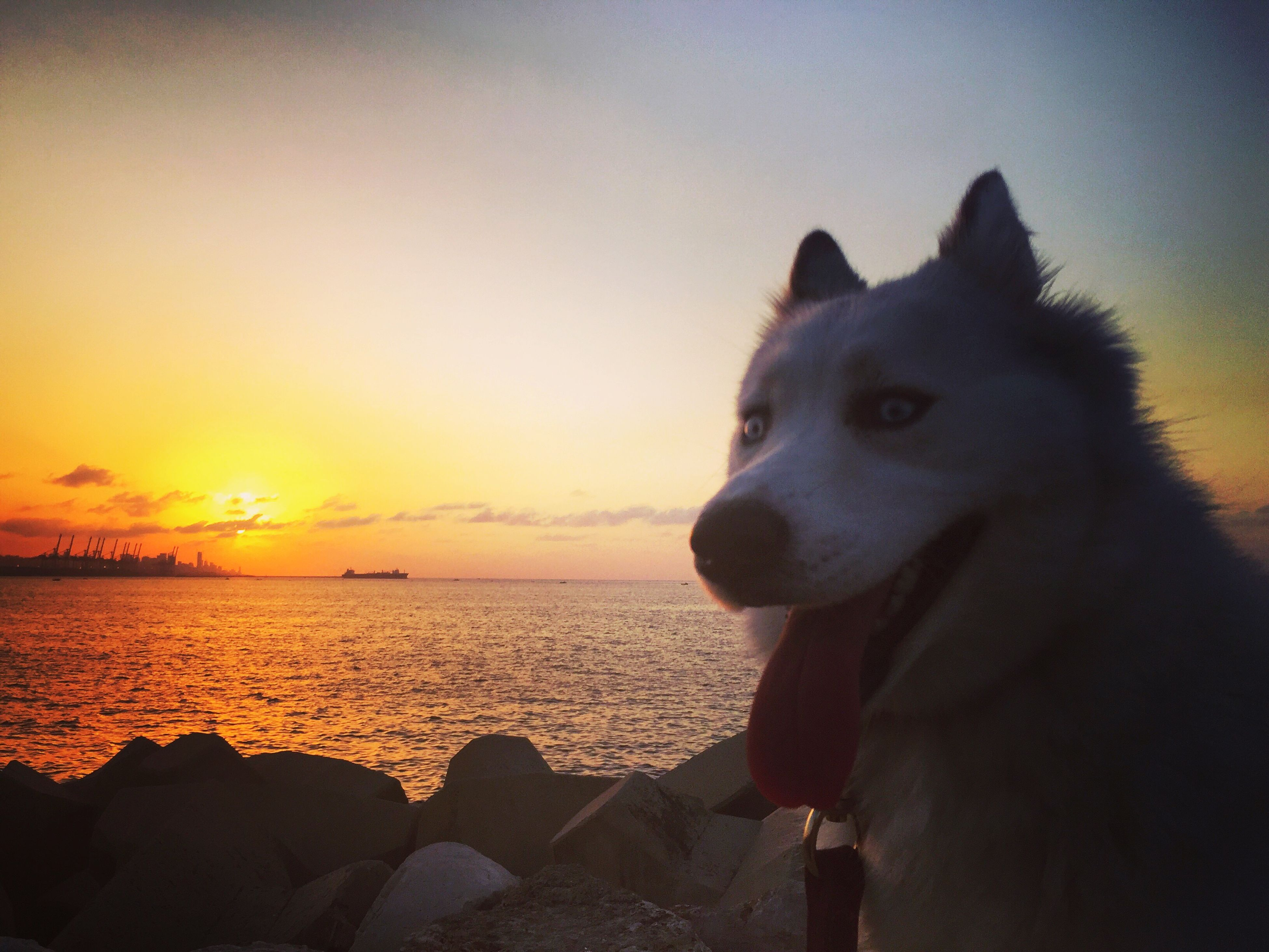 sunset, sea, one animal, water, pets, sky, animal themes, horizon over water, domestic animals, dog, mammal, beach, silhouette, nature, scenics, beauty in nature, tranquility, tranquil scene, shore, sitting