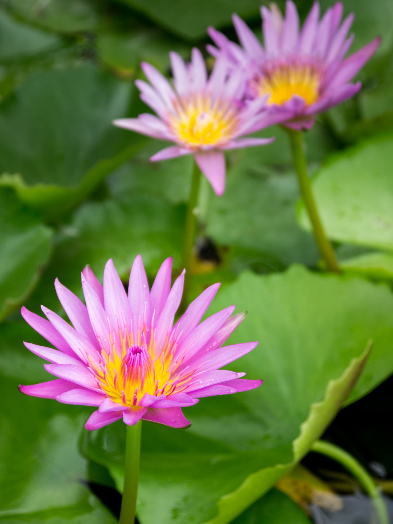 Blooming Purple Lotus in Pond Beauty In Nature Blooming Close-up Day Flower Flower Head Fragility Freshness Growth Leaf Lotus Lotus Water Lily Love Nature No People Outdoors Petal Pink Color Plant Purple