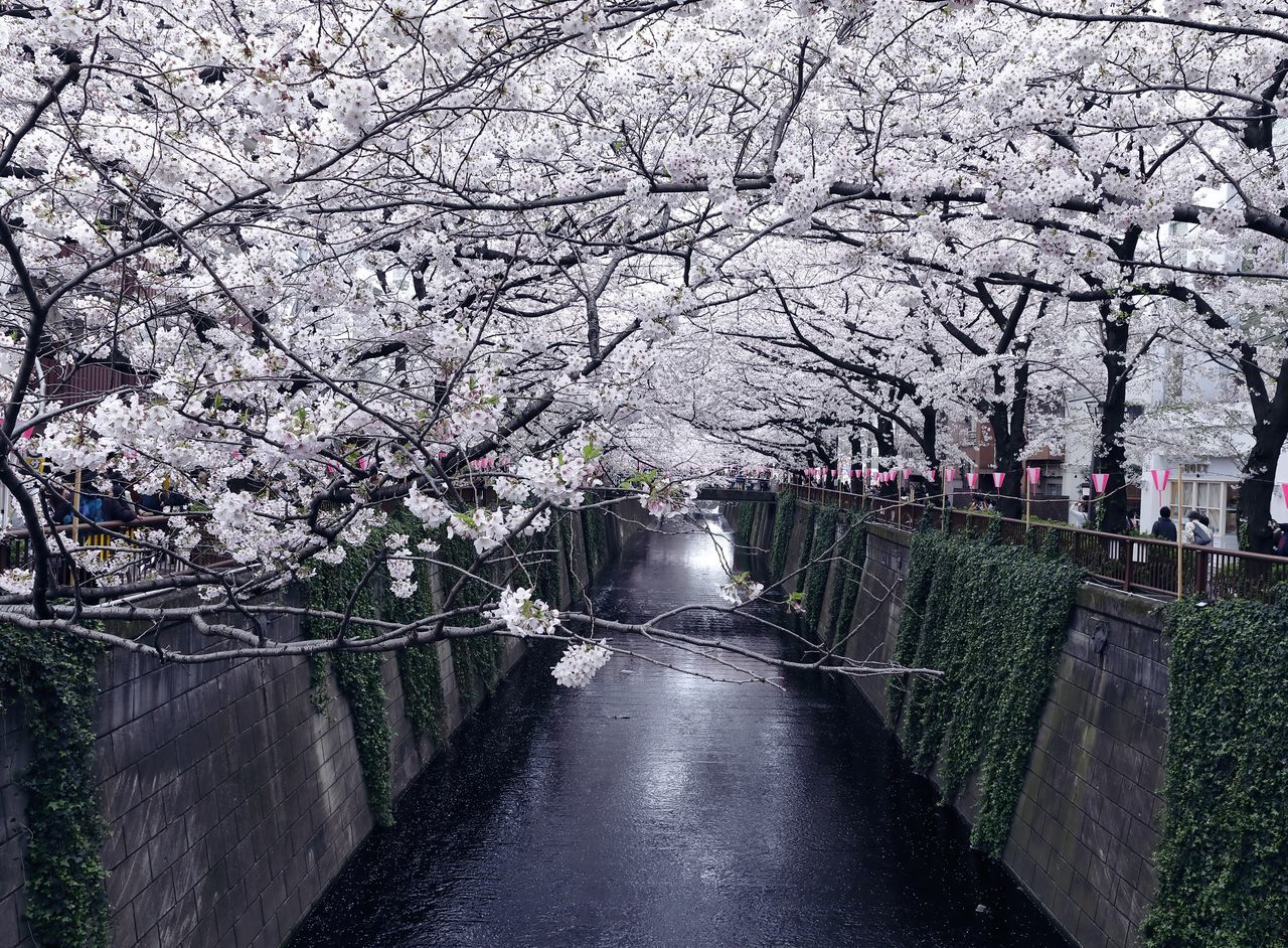 Beauty In Nature Cherry Blossom Cherry Blossoms City Life Day Flower Flower Collection Flowers Flowers, Nature And Beauty Japan Japan Photography Natuer_collection Nature Nature_collection Outdoors River River View Riverside Sakura Spring Spring Flowers Springtime Tokyo Tree Water