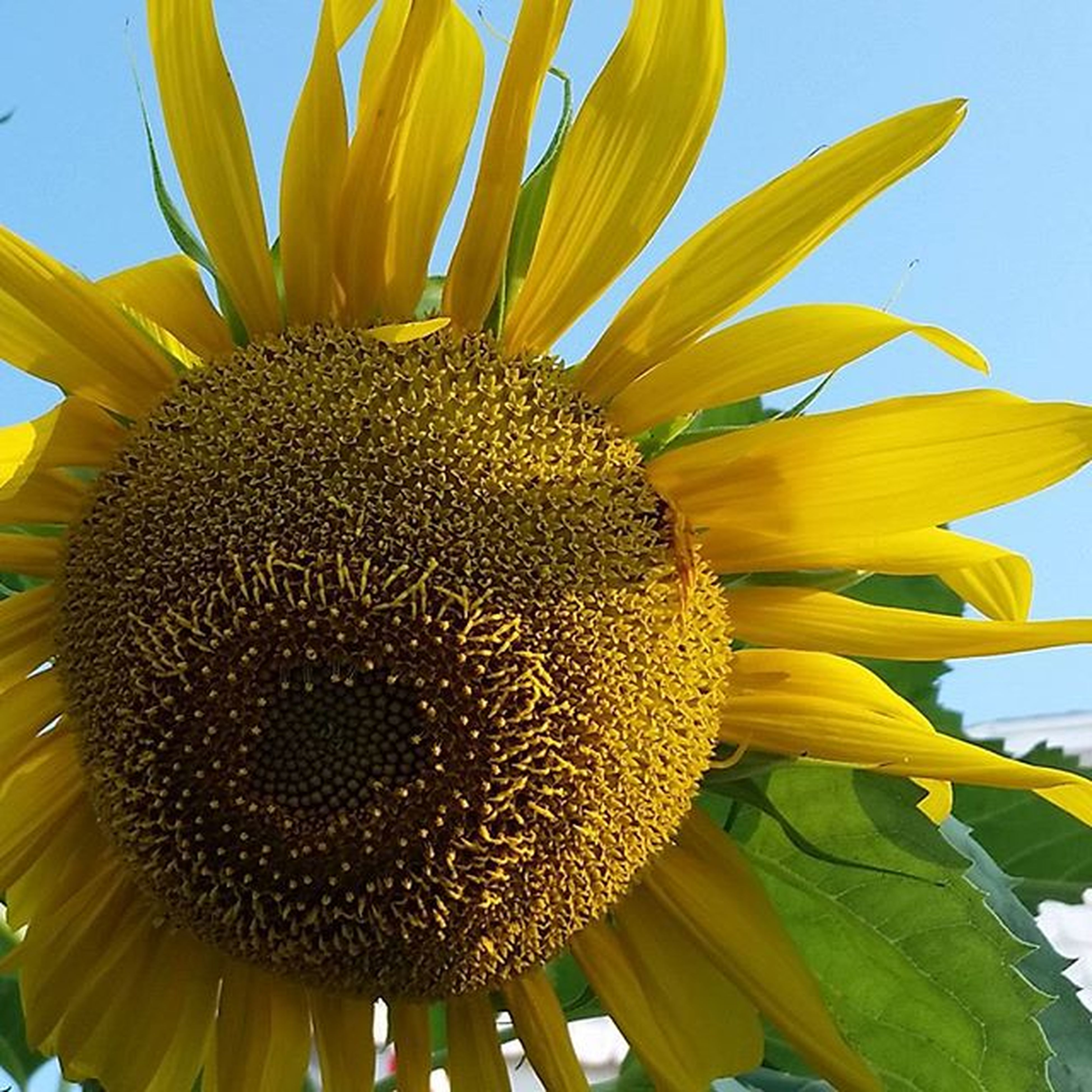 flower, sunflower, yellow, growth, freshness, flower head, fragility, petal, beauty in nature, pollen, nature, low angle view, close-up, blooming, plant, single flower, clear sky, sky, leaf, outdoors