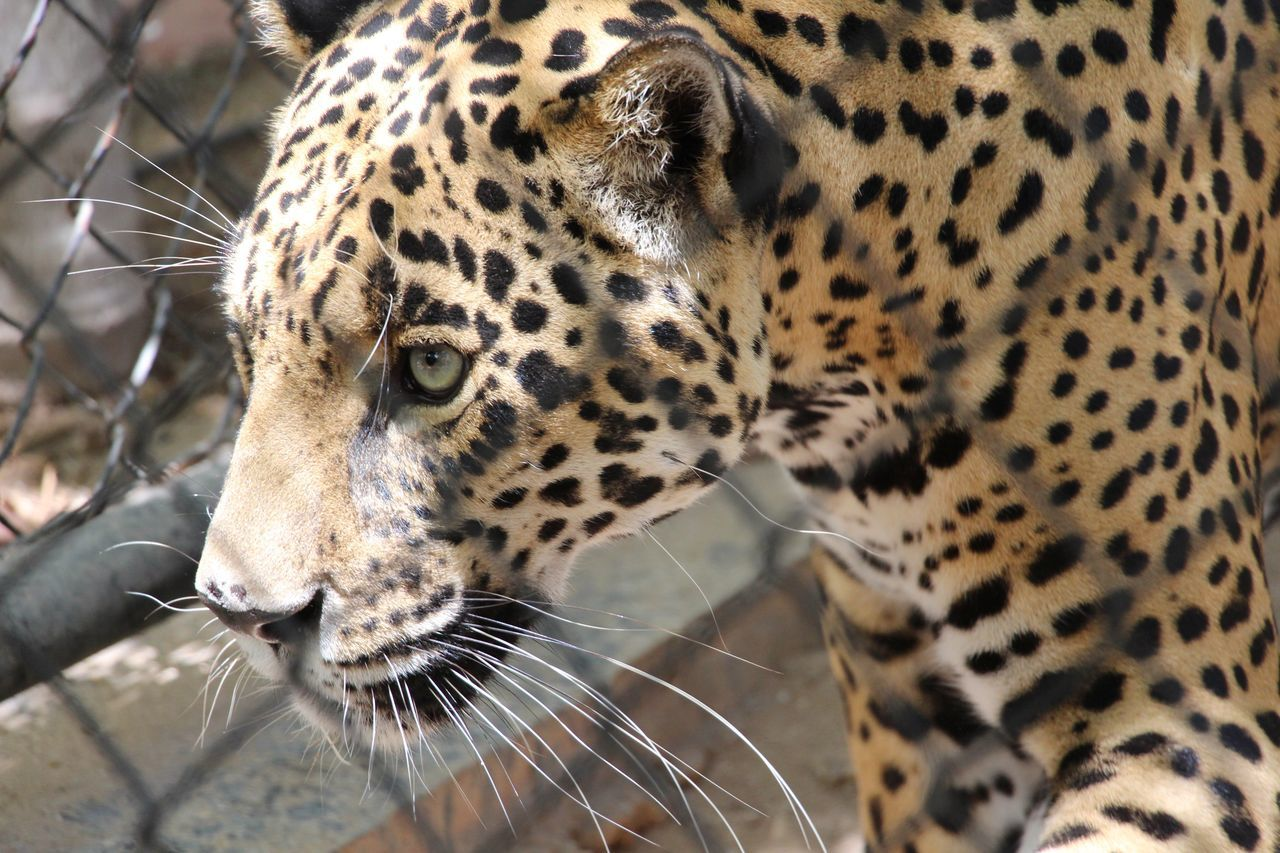 Beautiful stock photos of leopard, Animal Head, Animal Themes, Animals In The Wild, Close-Up
