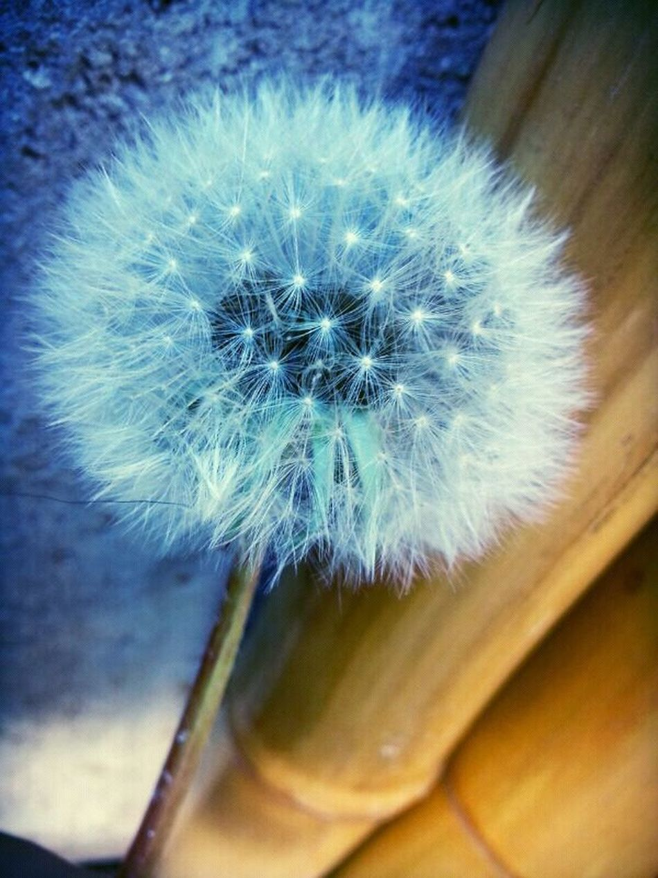 dandelion... Taking Photos