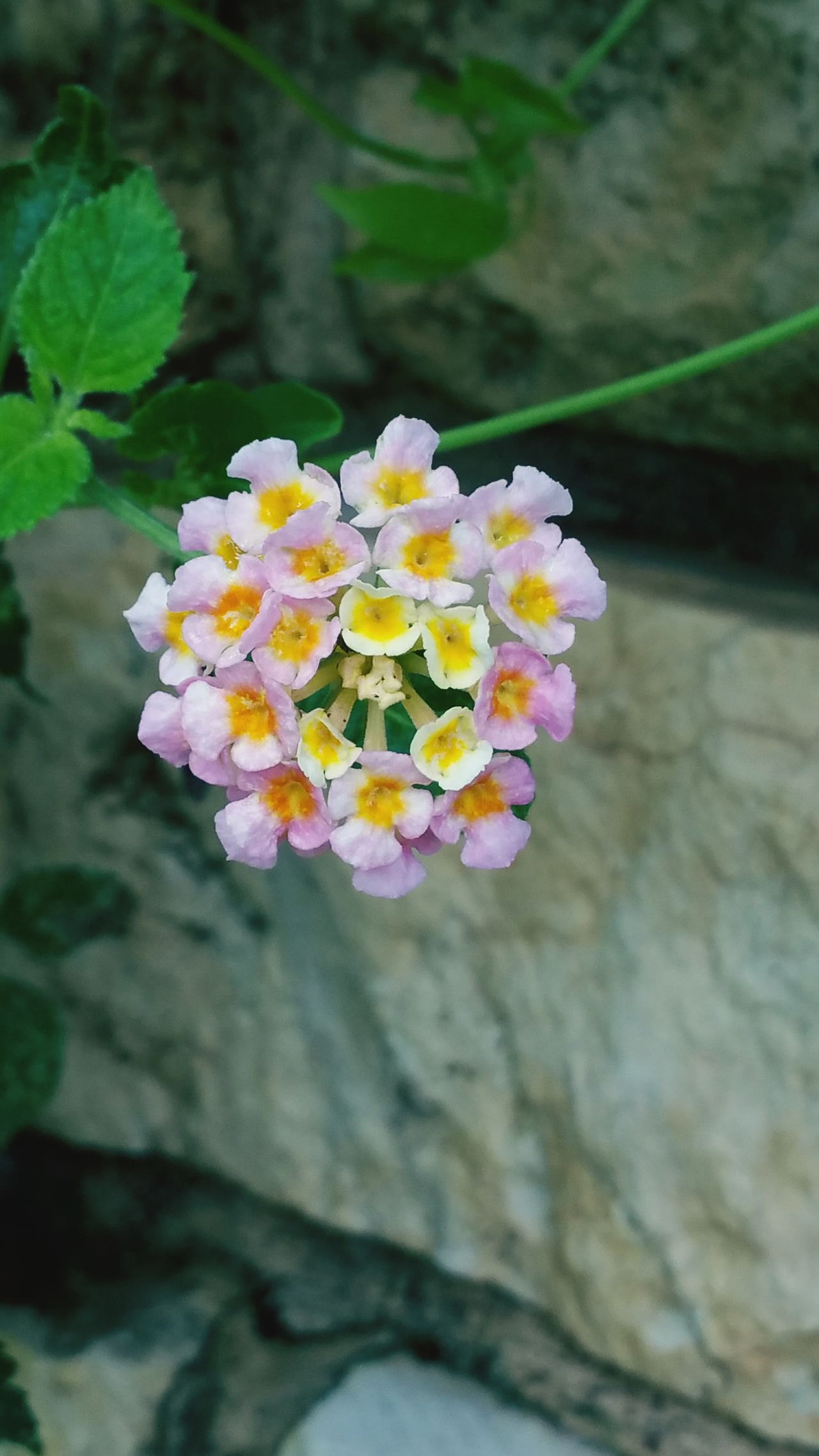 Macro Close-up Colorful Flower Naturelover Nature Flowers Lantana Flower Blurredbackground