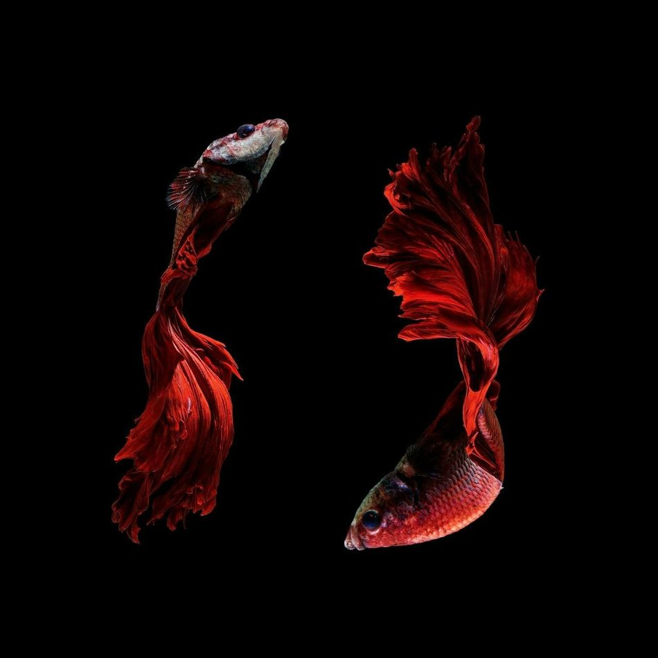 Beautiful stock photos of fish, Animal Themes, Animals In The Wild, Beauty In Nature, Black Background