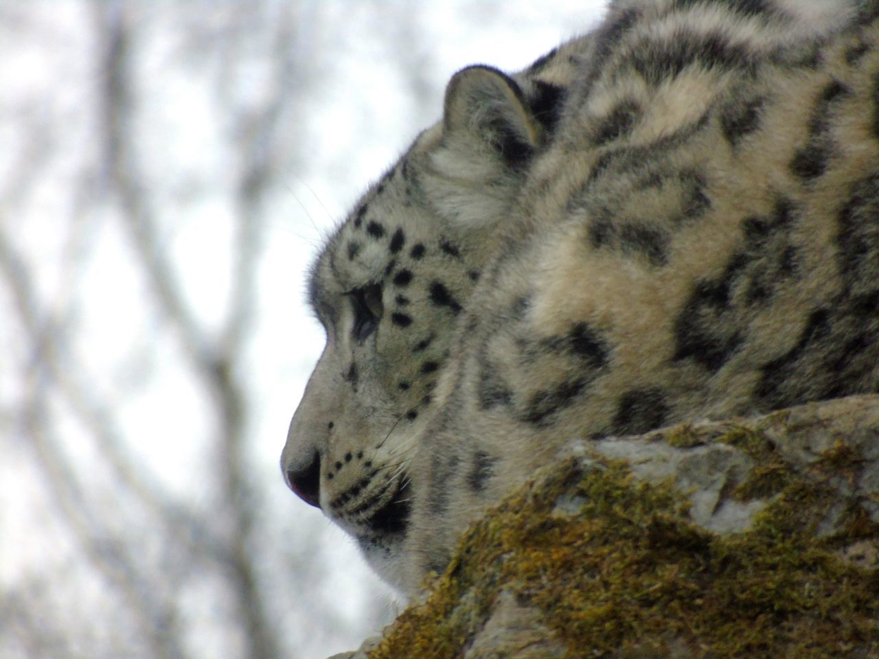 Snow Leopard Uk Eye Em Scotland Scotland Kincraig Wildlife Park Big Cats Cats Of EyeEm Big Cat Cat Snow Leopards >  Snow Leopard Leopard Animal Wildlife Safari Animals Alertness Alertness Animal Head Animal Themes Beauty In Nature Beautiful Animals  Wildlife Photography Wildlife & Nature Backgrounds Close-up Nature Mammal