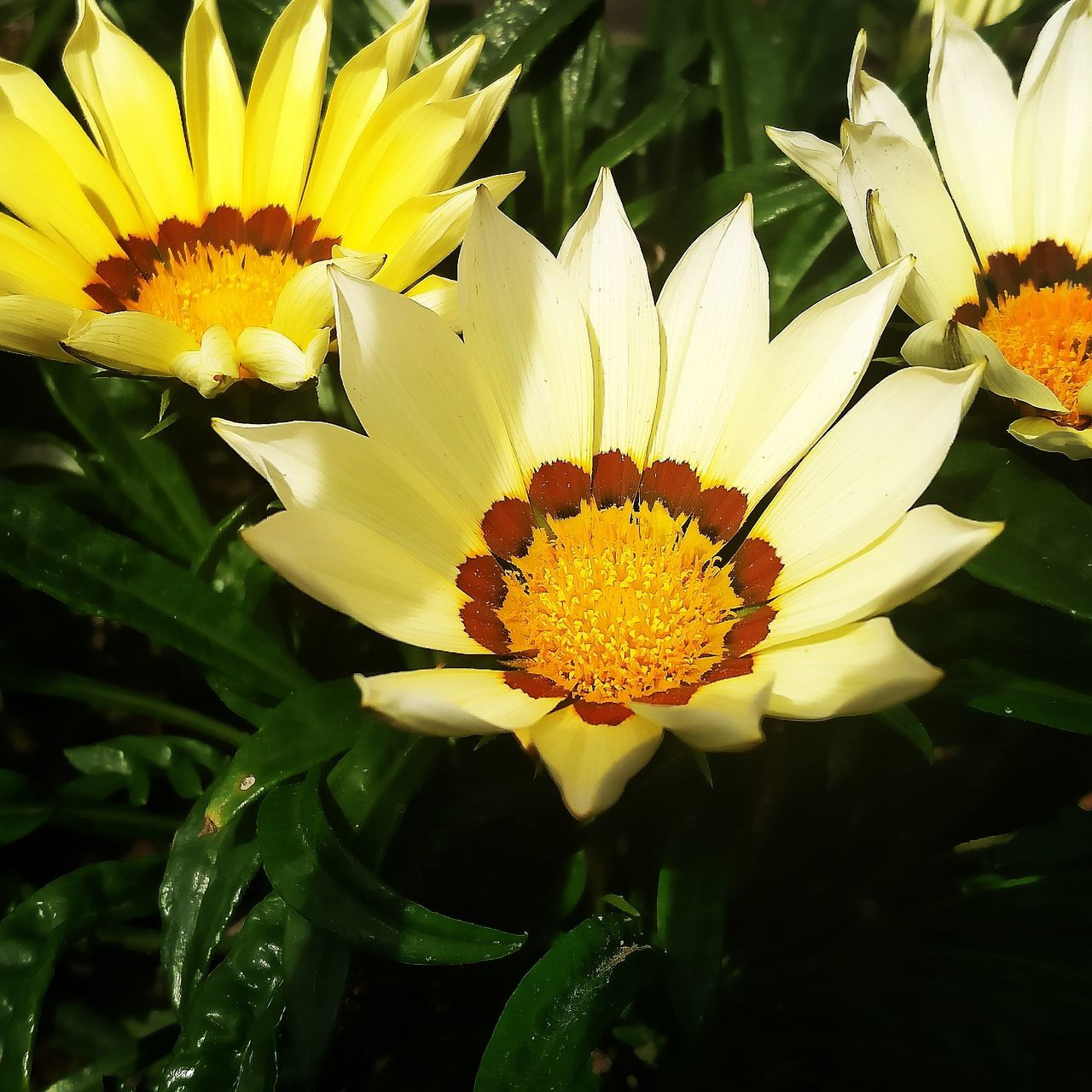 flower, petal, beauty in nature, flower head, nature, freshness, growth, fragility, yellow, plant, pollen, gazania, no people, leaf, outdoors, blooming, close-up, day
