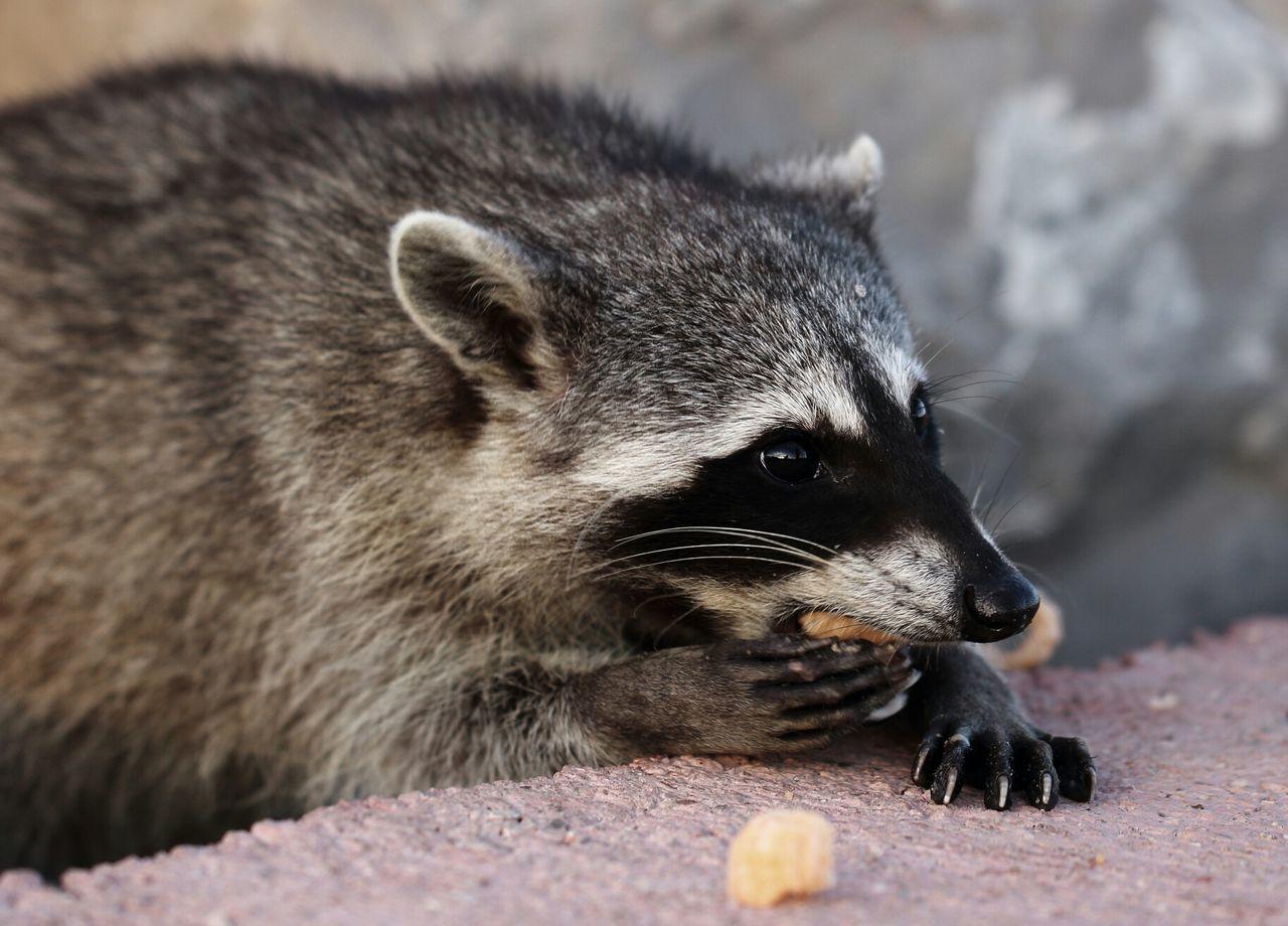 Beautiful stock photos of raccoon, Animal Hair, Animal Themes, Cheese, Close-Up
