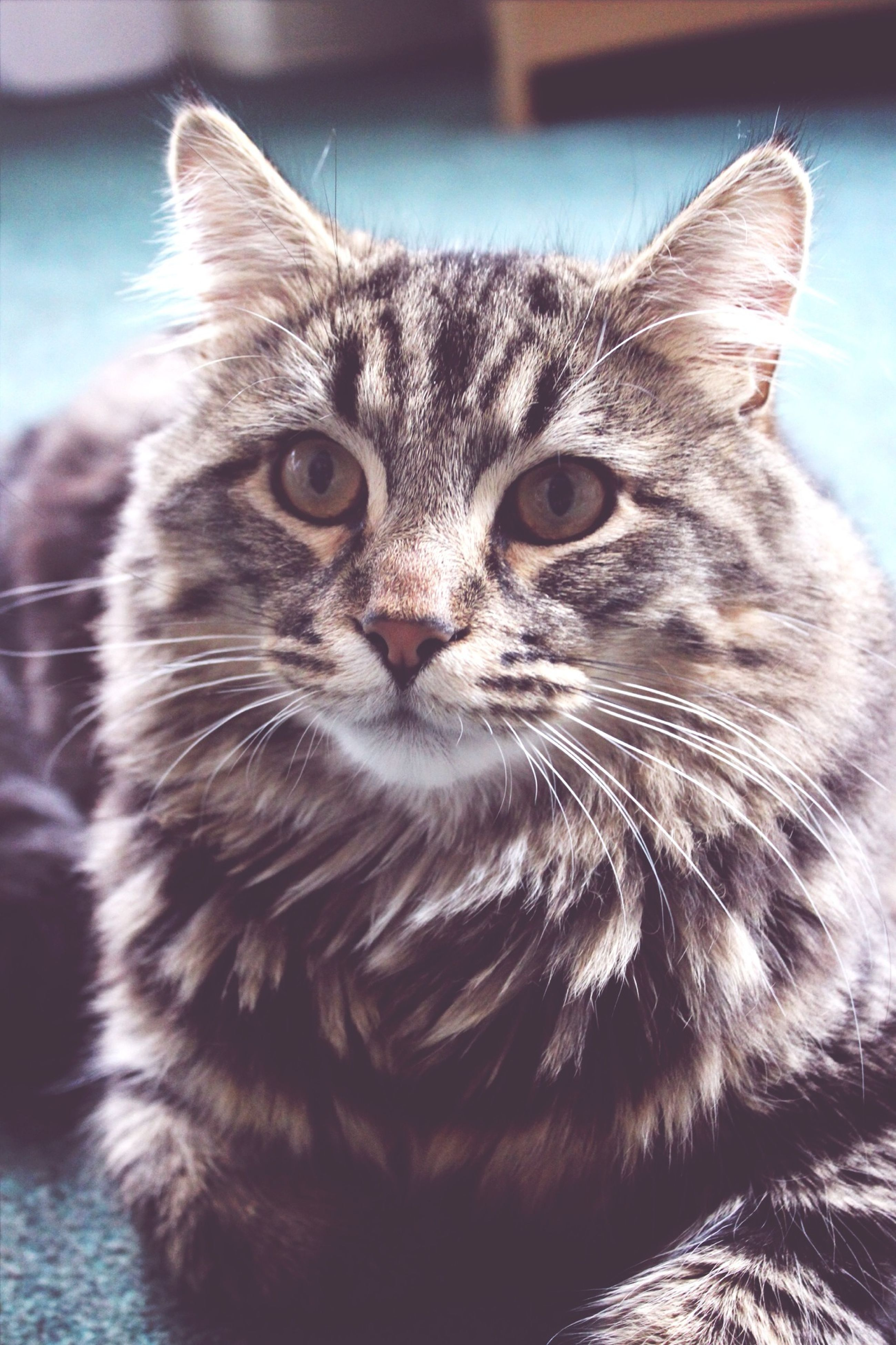 domestic cat, one animal, animal themes, pets, cat, whisker, domestic animals, feline, mammal, close-up, portrait, looking at camera, focus on foreground, animal head, animal eye, indoors, relaxation, alertness, front view